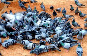 crescatorie de porumbei